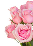 Close up of fresh pink garden roses Royalty Free Stock Images