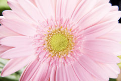 Close up on fresh pink gerbera flower. Royalty Free Stock Photography