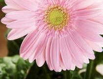 Close up on fresh pink gerbera flower. Royalty Free Stock Image