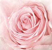 Close-up of fresh pink rose Royalty Free Stock Photography