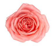 Close up fresh pink rose flower Stock Photography