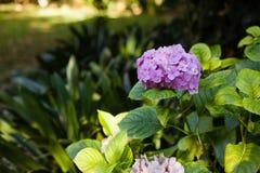 Close-up of fresh purple hydrangeas Royalty Free Stock Images