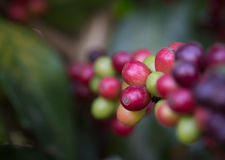 Close up fresh raw coffee on tree. Closeup fresh raw coffee on tree Royalty Free Stock Photography