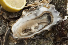 Close up of a fresh raw pacific oyster. Close up of an open fresh raw pacific oyster ready to eat Royalty Free Stock Image