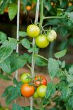 Close up of fresh red and green tomatoes in the garden. Close up of fresh red and green tomatoes still on the plant in the garden Royalty Free Stock Photos