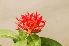Closeup of fresh Red Ixora flower in the garden Royalty Free Stock Photo