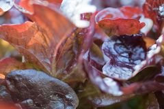Close up of fresh red radicchio chicory leaves in homegrown garden in sunlight. Creative background Stock Photos
