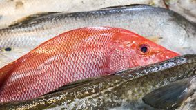 Red Snapper fish. Close-up of fresh Red Snapper fish Stock Images
