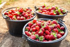 Close Up Fresh Red Strawberries in the Black Plastic Bucket. Royalty Free Stock Photos