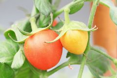 Close up of fresh red tomatoes Stock Photography