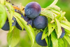 Plum tree, blue ripe fruits hanging on branch. Close-up of fresh ripe plum tree fruits hanging on branch stock photos