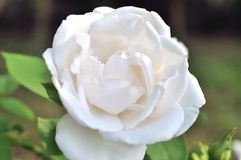 Close-up of fresh rose flower royalty free stock photo
