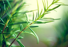 Close-up of fresh rosemary leaves Stock Photo