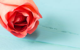 The close up  of fresh roses on blue wood,selective focus Stock Photos