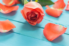 The close up  of fresh roses on blue wood,selective focus Royalty Free Stock Image