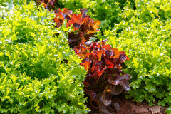 Close up of  fresh salad background at garden Stock Photography