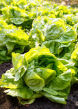 Close up of  fresh salad background at garden, Butterhead Lettuc Stock Image
