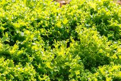 Close up of  fresh salad background at garden Royalty Free Stock Photos