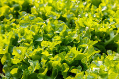 Close up of  fresh salad background at garden, Green oak Stock Photography