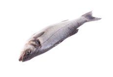 Close up of fresh seabass fish. Stock Photos