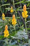 Fresh Senna alata flower in nature garden. Close up fresh Senna alata flower in nature garden Royalty Free Stock Photography
