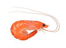 Close up of fresh shrimp Royalty Free Stock Image