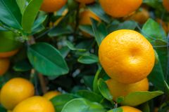 Close-up of fresh small orange on green leafs background stock images