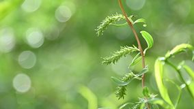 Close up branches of Chinese willow over green stock footage