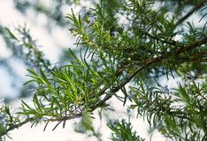 Fresh spring branches of rosemary and its blossoms. Close-up of fresh spring branches of rosemary and its blossoms Stock Image