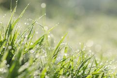 Close up fresh spring green grass with bokeh dew drop and sunlig Royalty Free Stock Image
