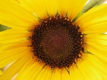 Close up of fresh sunflower Stock Photo