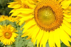 Close-up of the fresh sunflower. Royalty Free Stock Image