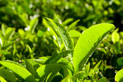 Close up of Fresh Tea Growing on a Plantation Stock Photo
