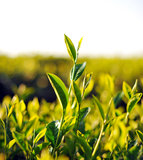 Close up fresh tea leaves in morning sunlight. Landscape royalty free stock image