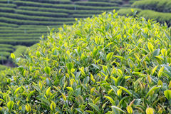 Close up fresh tea leaves in the morning Royalty Free Stock Image