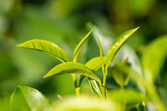Close-up fresh tea leaves on tea bushes in a plantation Royalty Free Stock Photo