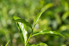 Close-up fresh tea leaves on tea bushes in a plantation Royalty Free Stock Images