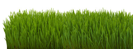 Close up of fresh thick grass Royalty Free Stock Photo