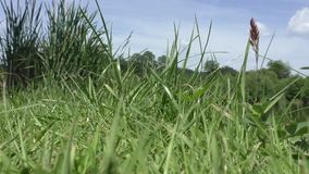 Close up of fresh thick grass stock video