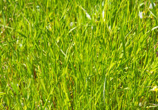 Close up of fresh thick grass in the early morning Stock Image