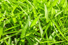Close up of fresh thick grass in the morning Royalty Free Stock Image