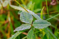 Close up of fresh thick grass with water drops. In the early morning Stock Images