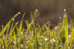 Close up of fresh thick grass with water drops. In the early stock images