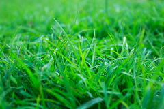 Close up of fresh thick grass with water drops in the early morn Stock Photo