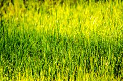 Close up of fresh thick grass with water drops in the early morn. Close up of fresh thick grass with water drops in  the early morning Royalty Free Stock Image