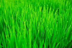 Close up of fresh thick grass with water drops in the early morning stock photography