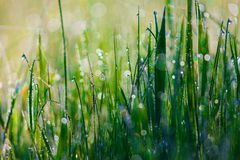 Close up of fresh thick grass with water drops in the early morning Stock Photos