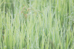 Close up of fresh thick grass. With water drops in the early morning Stock Images