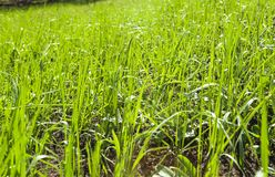 Close up of fresh thick grass with water drops in the early morning Royalty Free Stock Photo