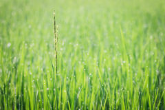 Close up of fresh thick grass with water drops. In the early morning Stock Photography